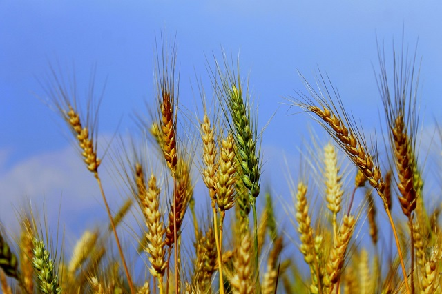 Wheat_Plants